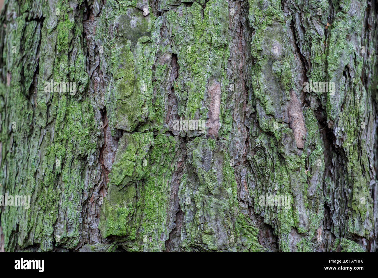 Old pine tree bark covered with green algae - Stock Image