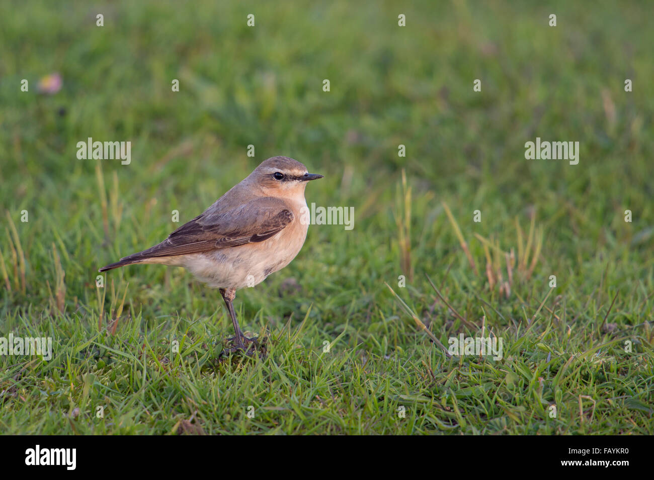 Northern Wheatear / Steinschmaetzer ( Oenanthe oenanthe ) in typical environment, stands on top of a little mound Stock Photo