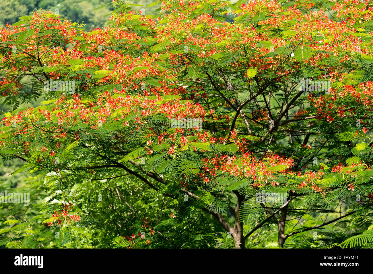 White butterflies feeding on the red flowers of Royal Poinciana tree, Indonesia - Stock Image