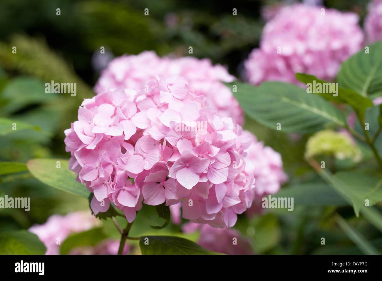 Hydrangea macrophylla. - Stock Image