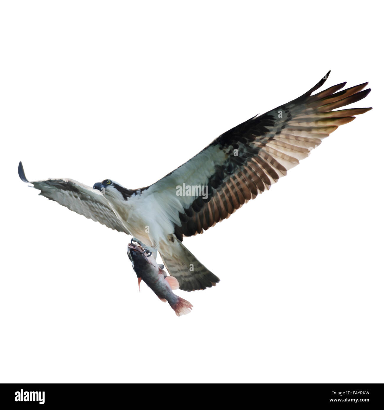 Digital Painting of Osprey with Fish in Flight,isolated on white - Stock Image
