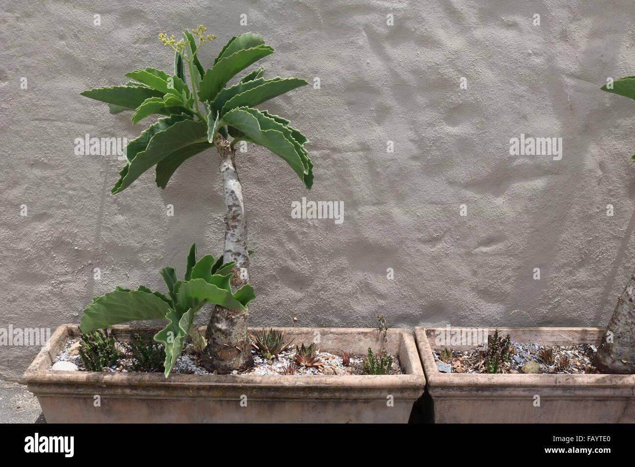 Cyphostemma juttae (Namibian grape) indigenous South African succulent - Stock Image