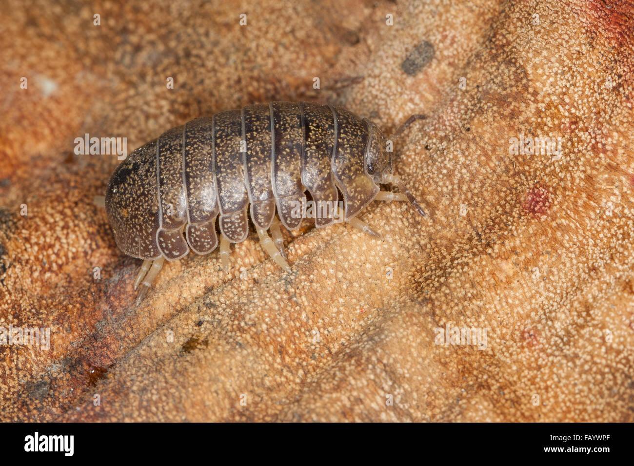 Pillbug, pill bug, Riesen-Rollassel, Riesenrollassel, Große Rollassel, Rollasseln, Helleria brevicornis, Korsika, - Stock Image