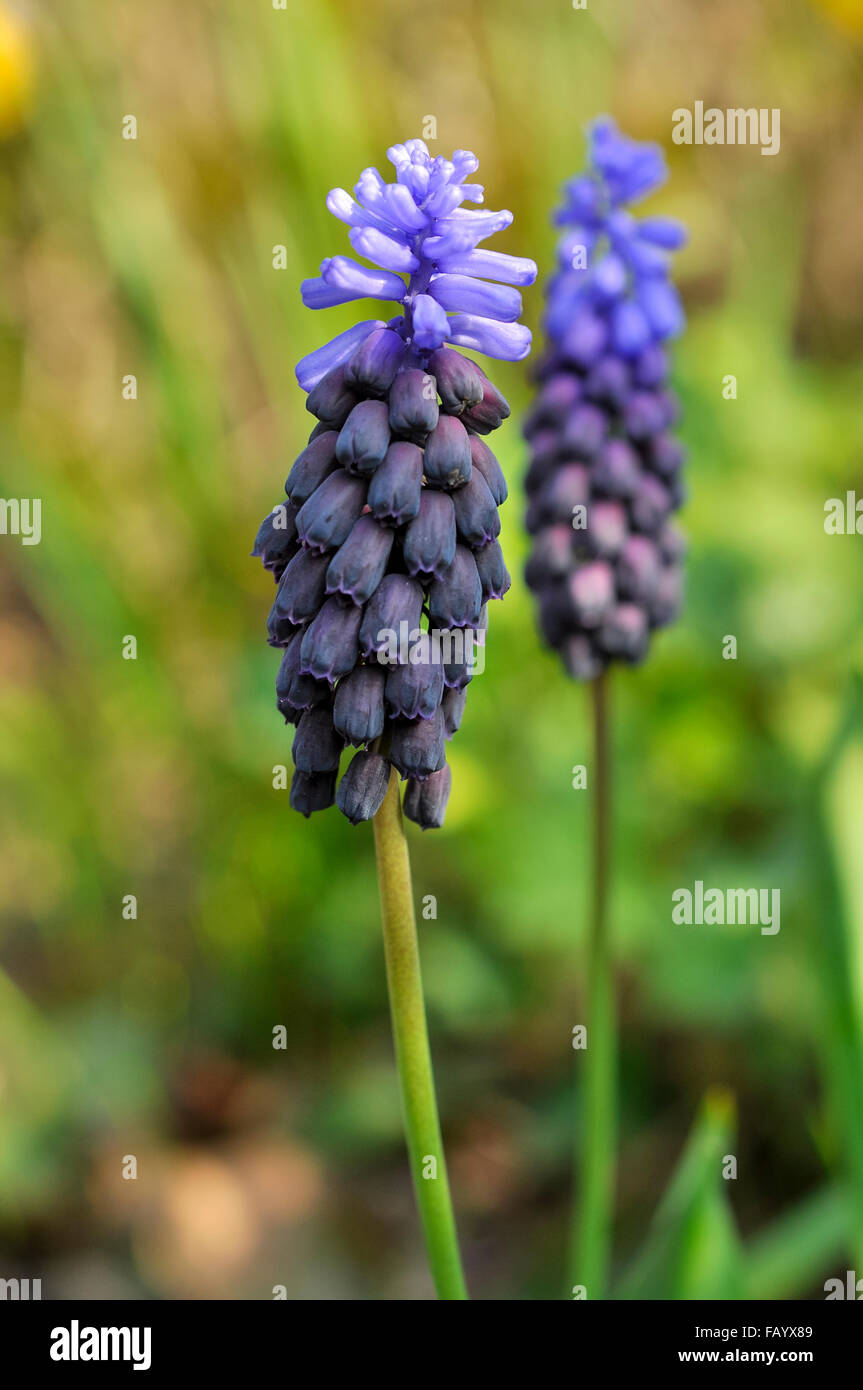 Muscari latifolium a small spring flowering bulb with two toned a small spring flowering bulb with two toned blue flowers mightylinksfo