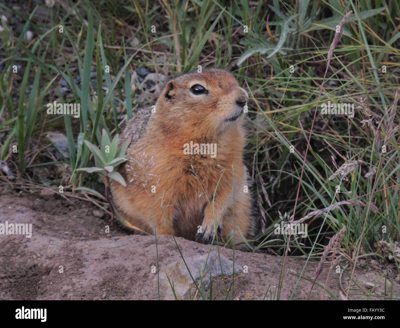 Arctic Ground Squirrels (Spermophilds parryii) are an important factor in the ecology of Denali National Park. Many - Stock Image