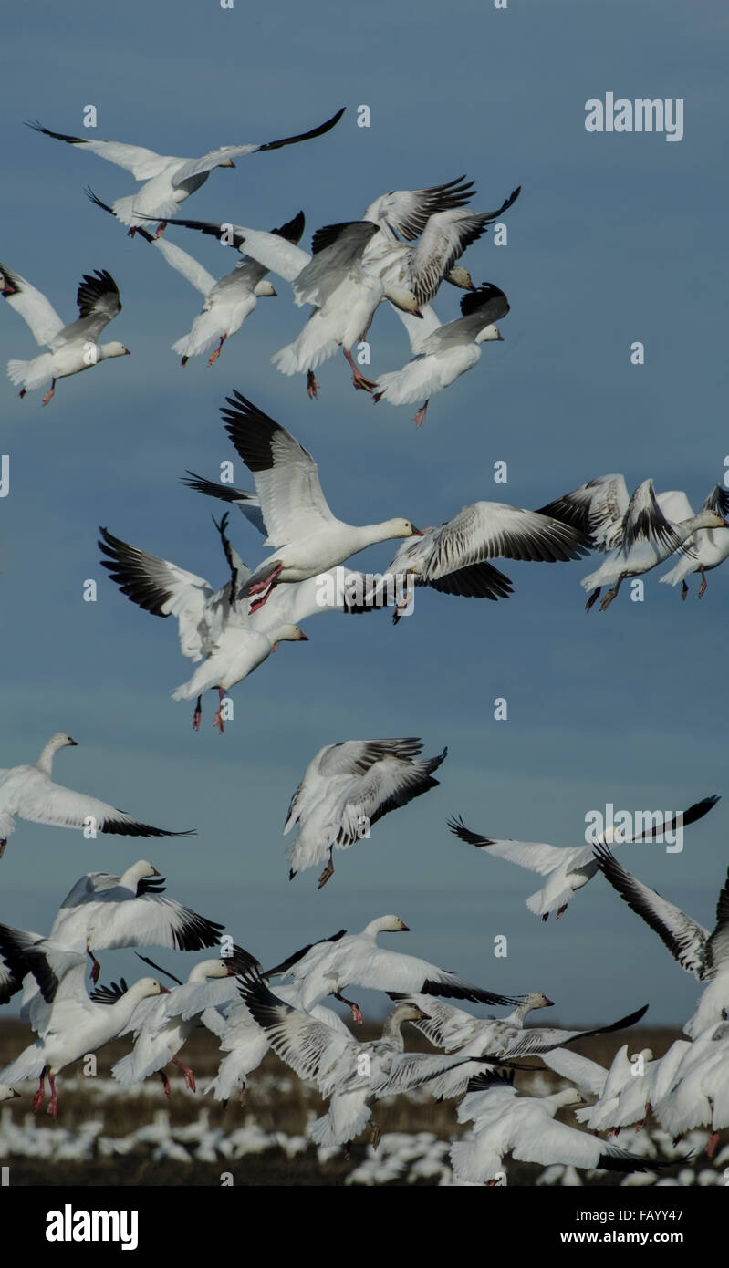 Snow Geese (Chen caerulescens) wintering in the Sacramento National Wildlife Refuge in Central California. - Stock Image