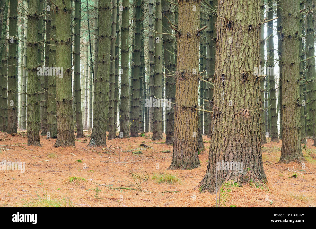 Photo of a beautiful pine tree forest - Stock Image