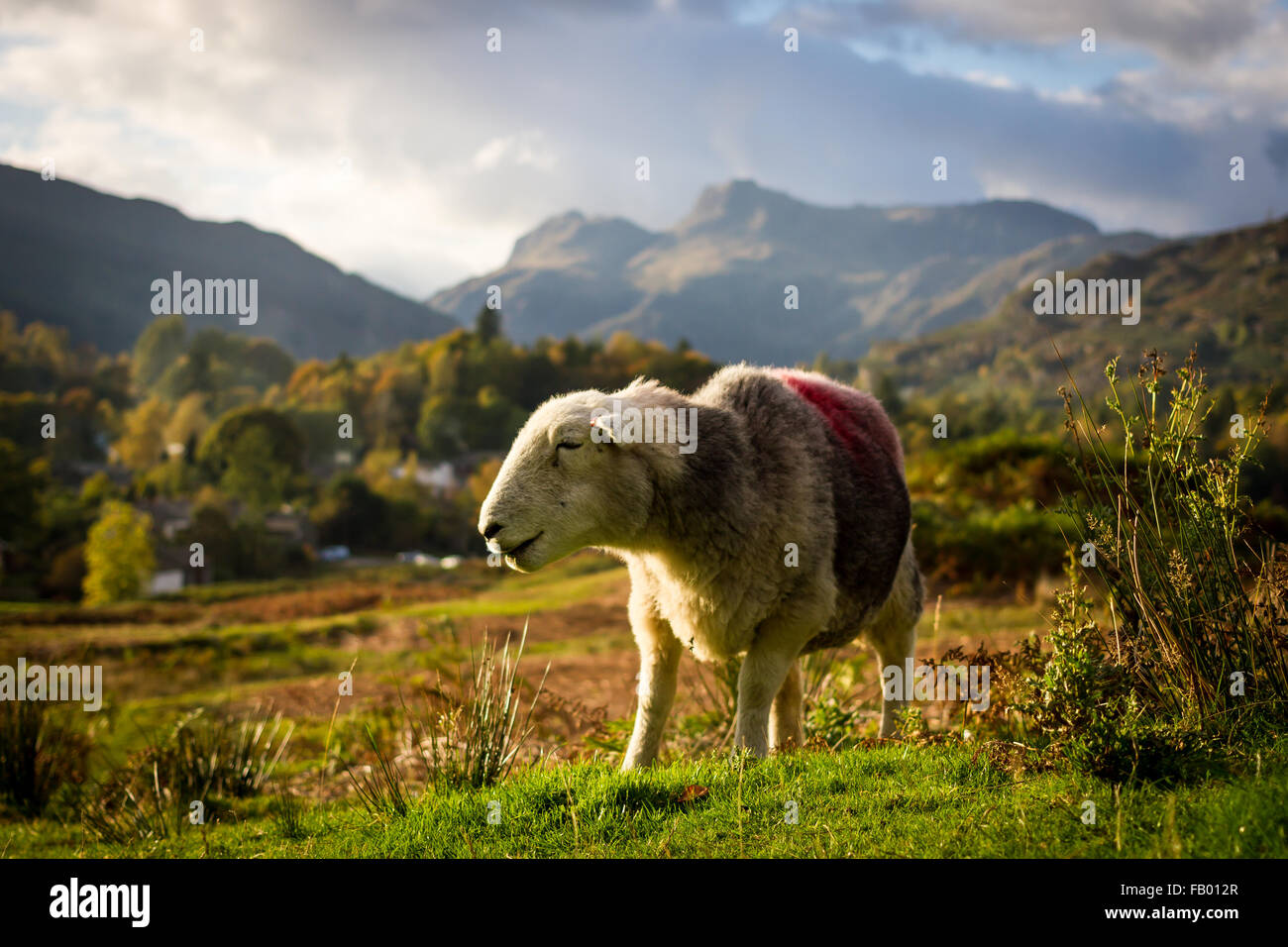 A Herdwick Sheep against the backdrop of the Langdales, Lake District - Stock Image