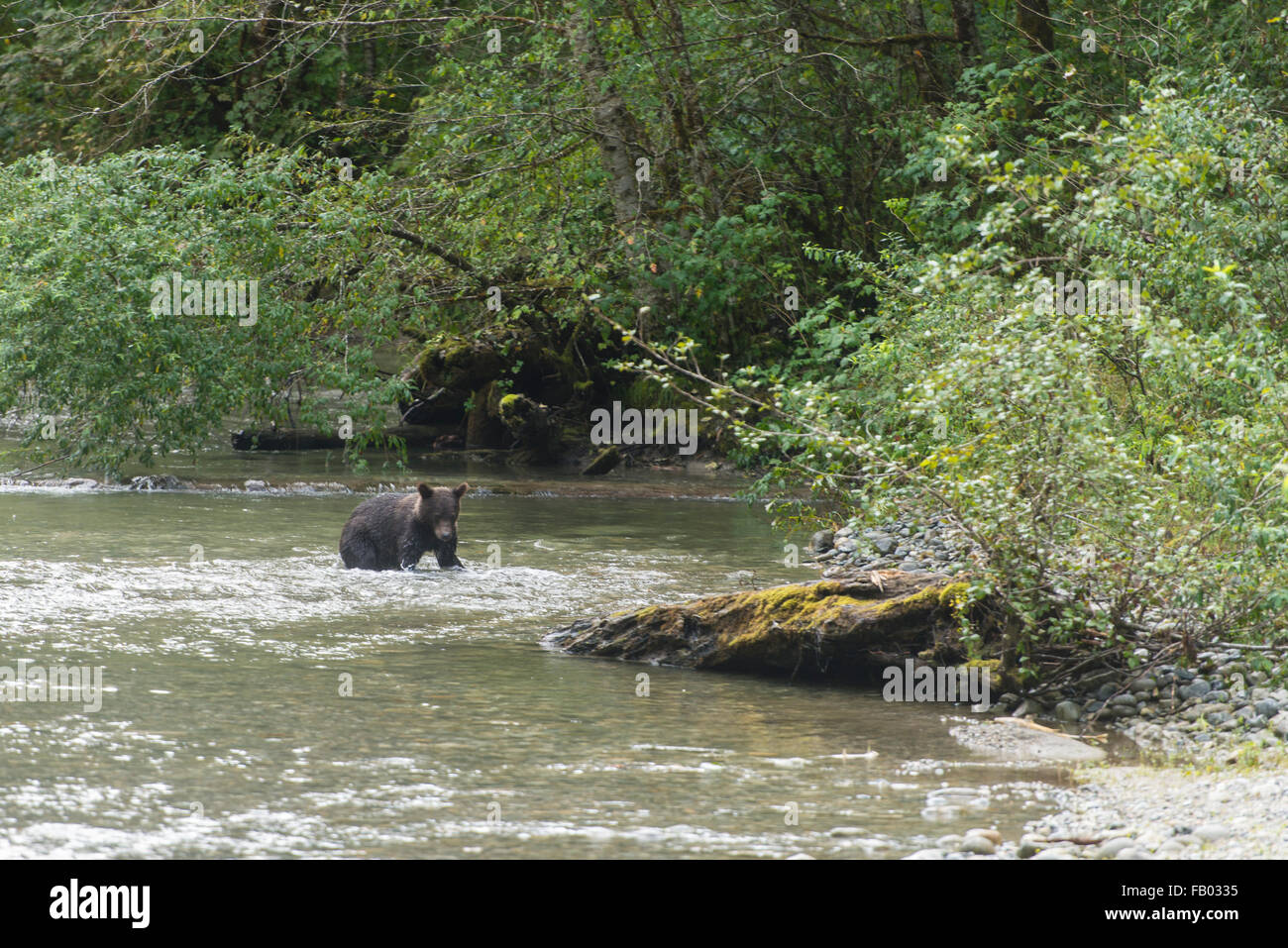 Mainland grizzly (Ursus arctos horribilis) walking in water, Bute Inlet, Vancouver Island, British Columbia, Canada Stock Photo