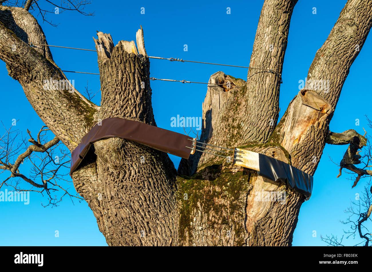 ancient oak tree at Pühajärve Estonia hold up with bandage - Stock Image