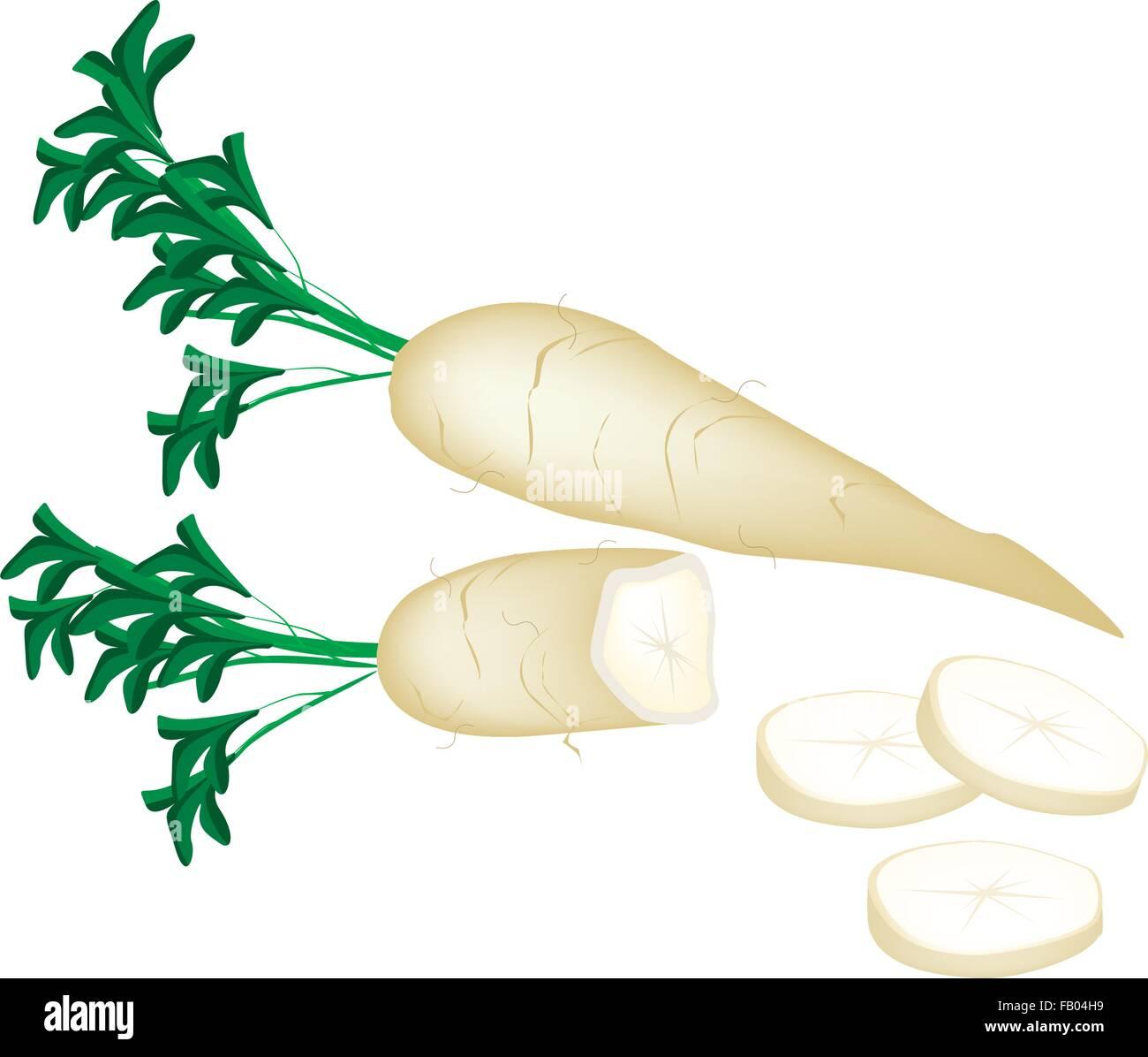 Vegetable, Vector Illustration of Long and Slices White Radishes or Daikon Radishes Isolated on White Background - Stock Image
