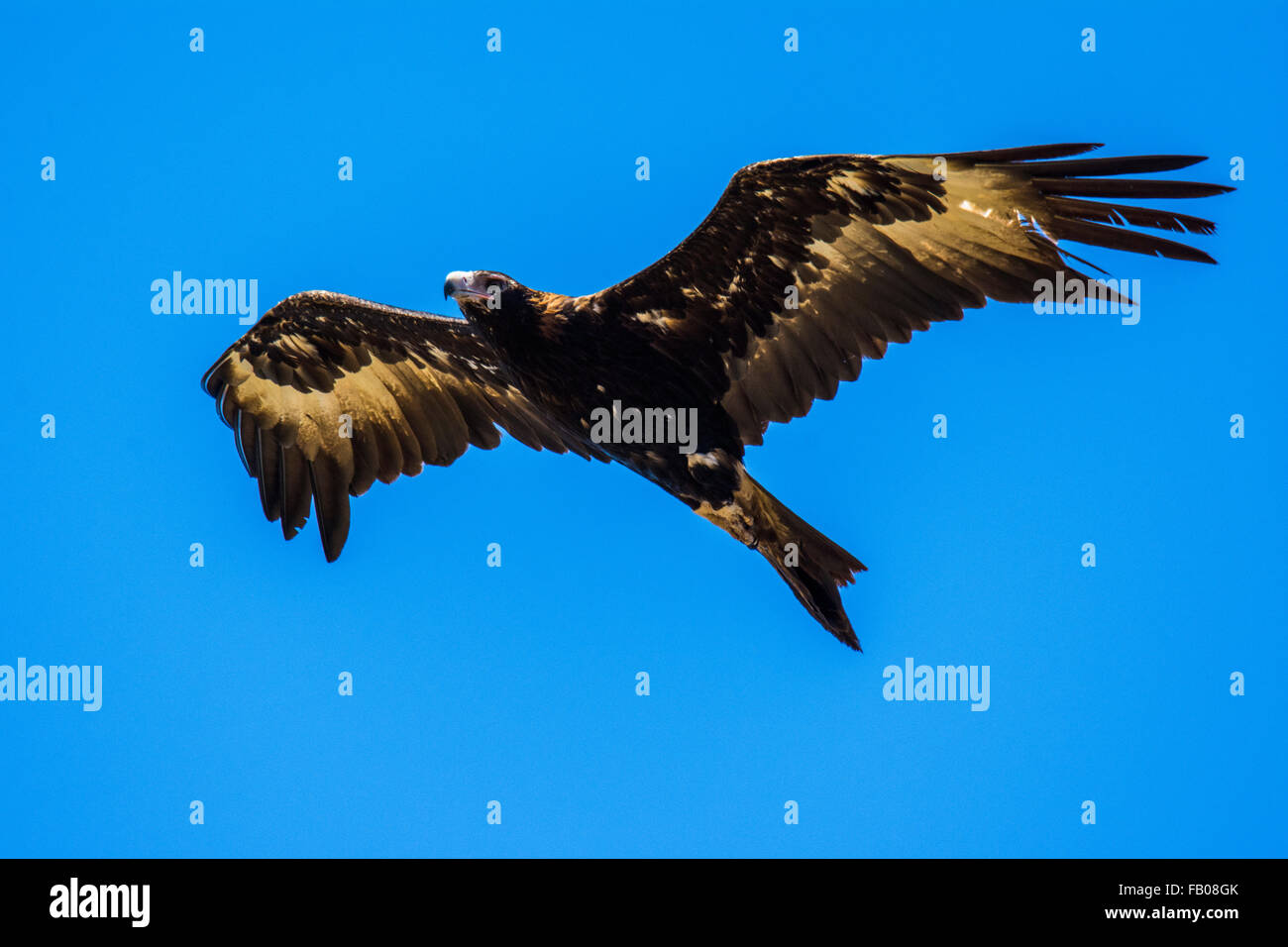 Wedge-tailed Eagle (Aquila audax) in flight. - Stock Image