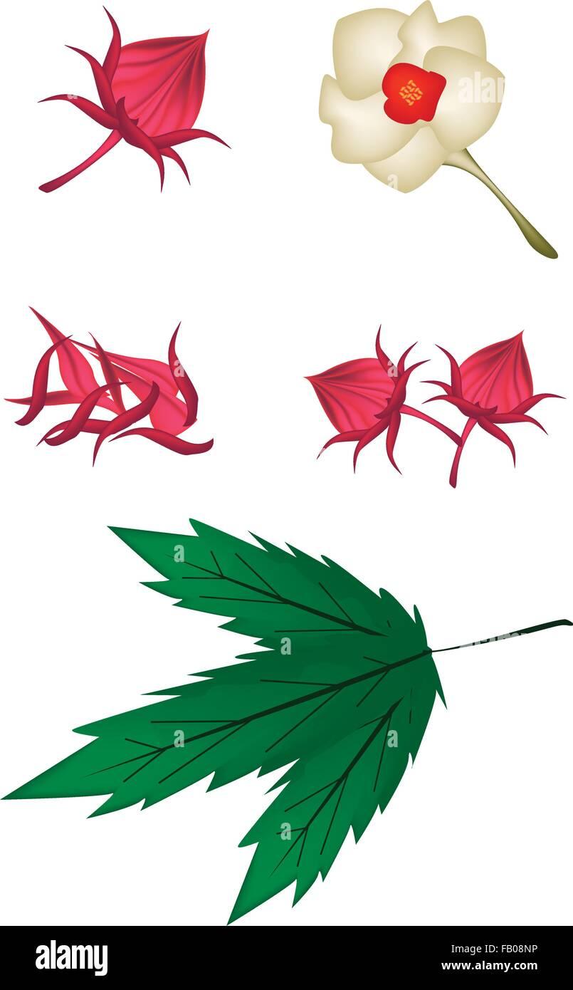 Food And Herb An Illustration Parts Of Fresh Hibiscus Sabdariffa Or