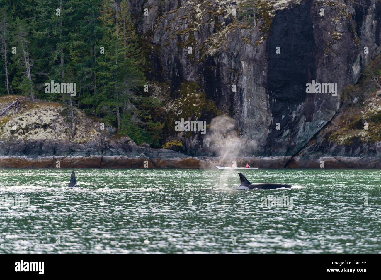 Orcas (Orcinus orca), off the coast, killer whales, Orford River, Vancouver Island, British Columbia, Canada - Stock Image