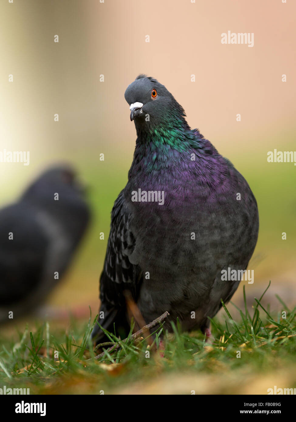 Feral pigeon is a common bird found in cities, so is also called as city pigeon. - Stock Image