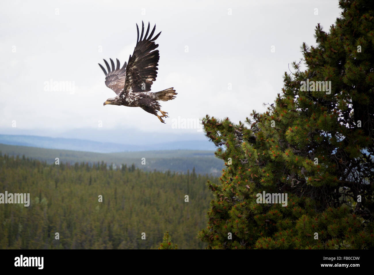 Eagle taking flight above the boreal forests of Canada's Yukon Territory - Stock Image