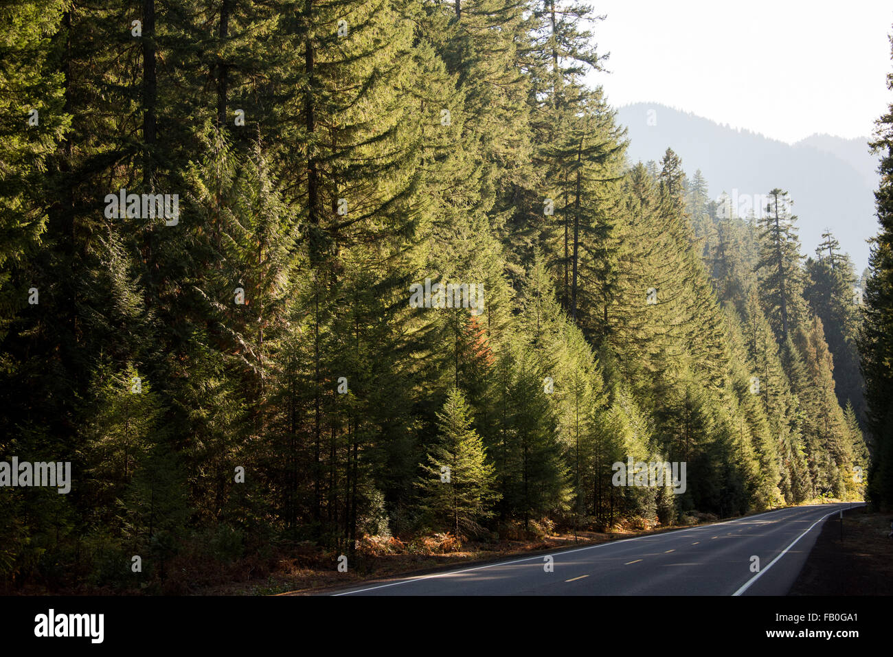 The empty McKenzie River Highway is lined with evergreen trees, part of the Willamette National Forest in Oregon. - Stock Image