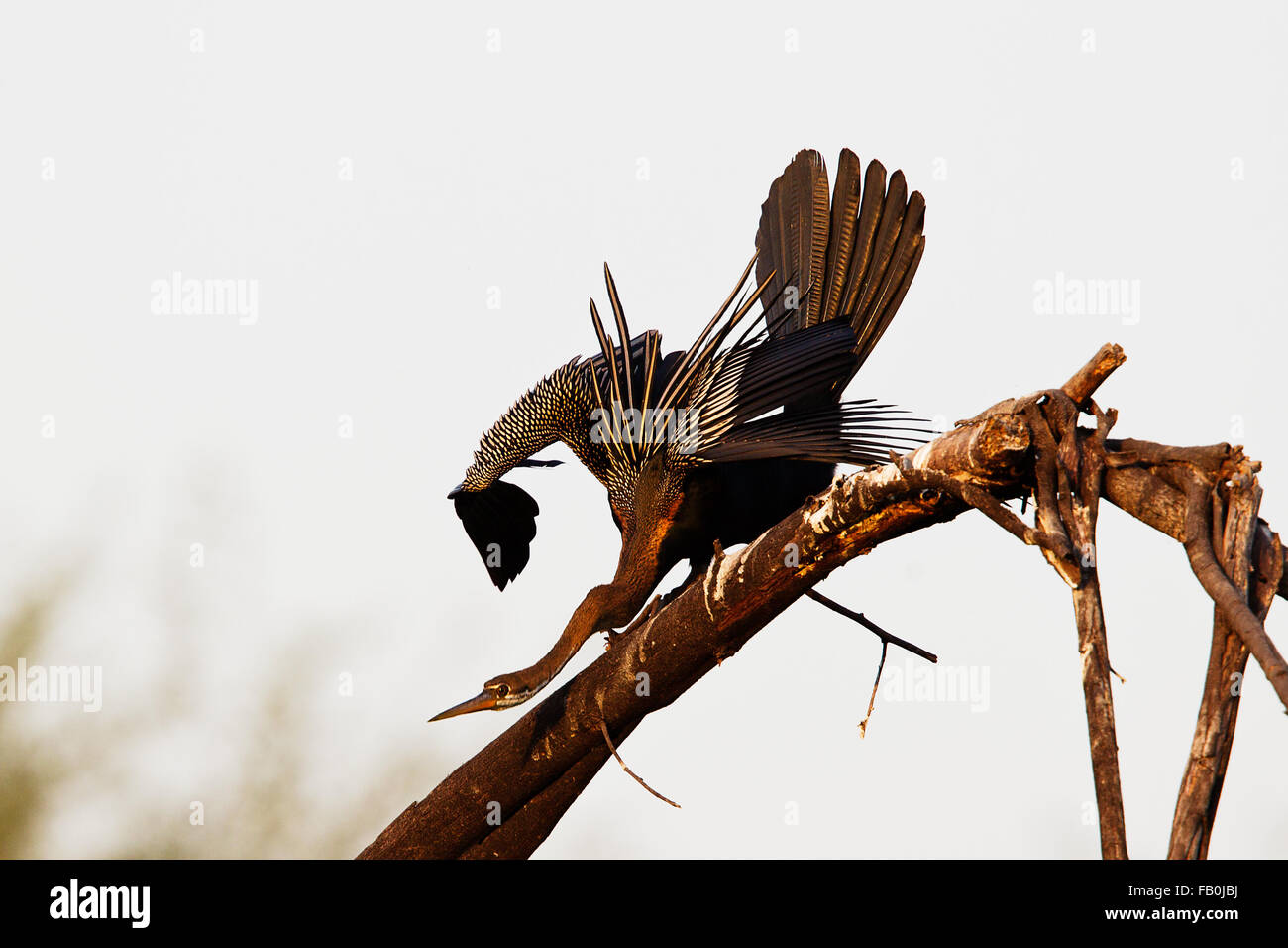 Indian darter at Bharatpur - Stock Image