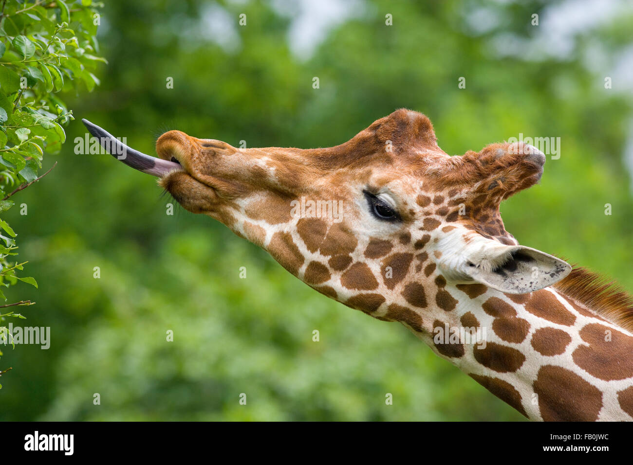 Giraffe Giraffa camelopardalis with tongue extended feeding - Stock Image