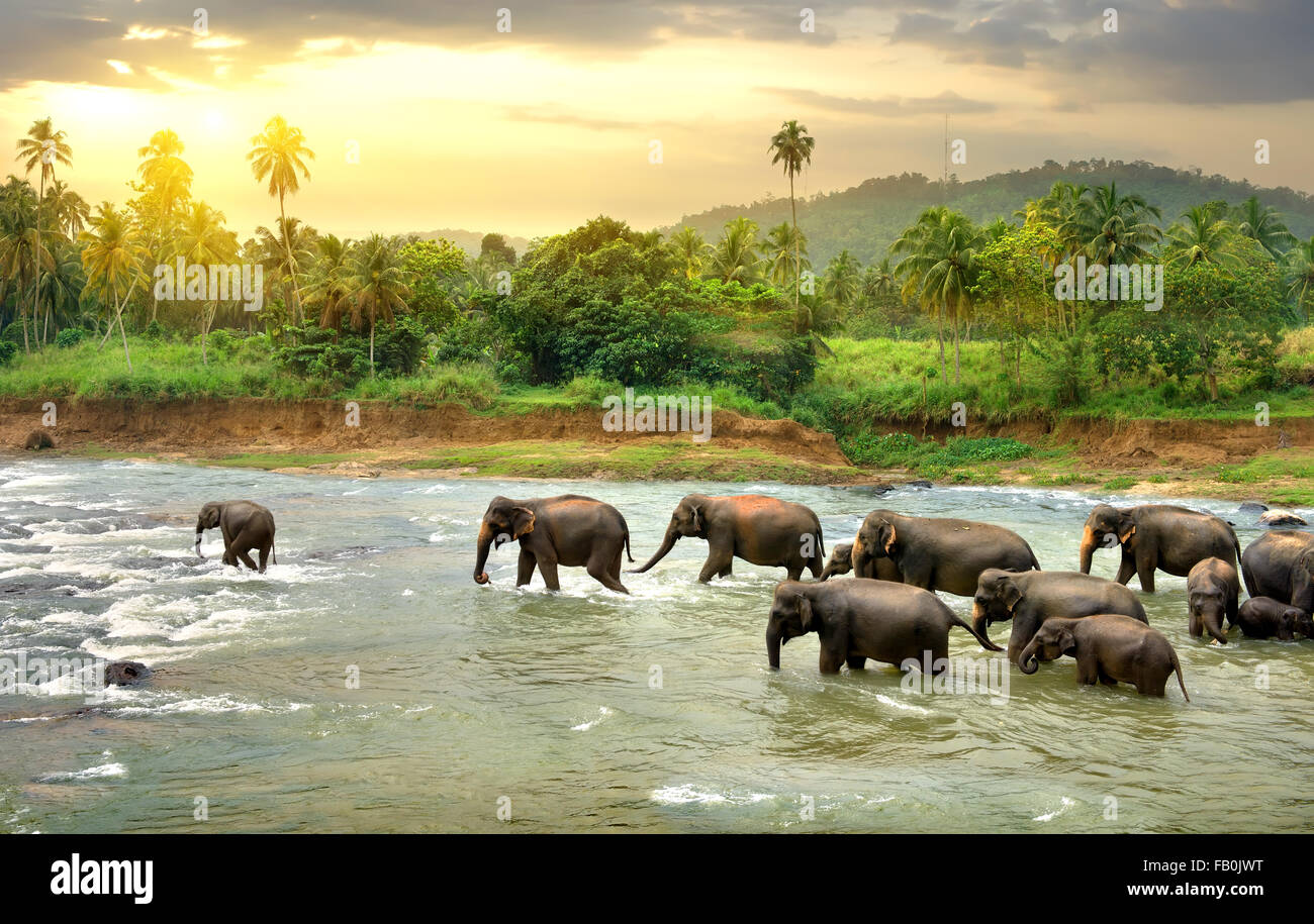 Herd of elephants walking in a jungle river - Stock Image