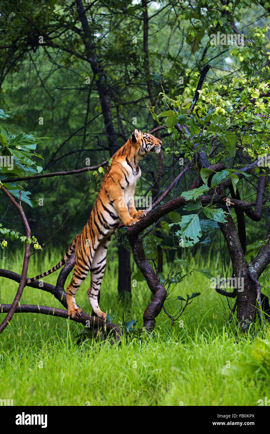 Tiger on Tree Stock Photo