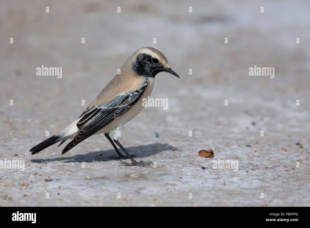 Desert Wheatear (Oenanthe deserti), Standing on the ground, Taqah, Dhofar, Oman - Stock Image