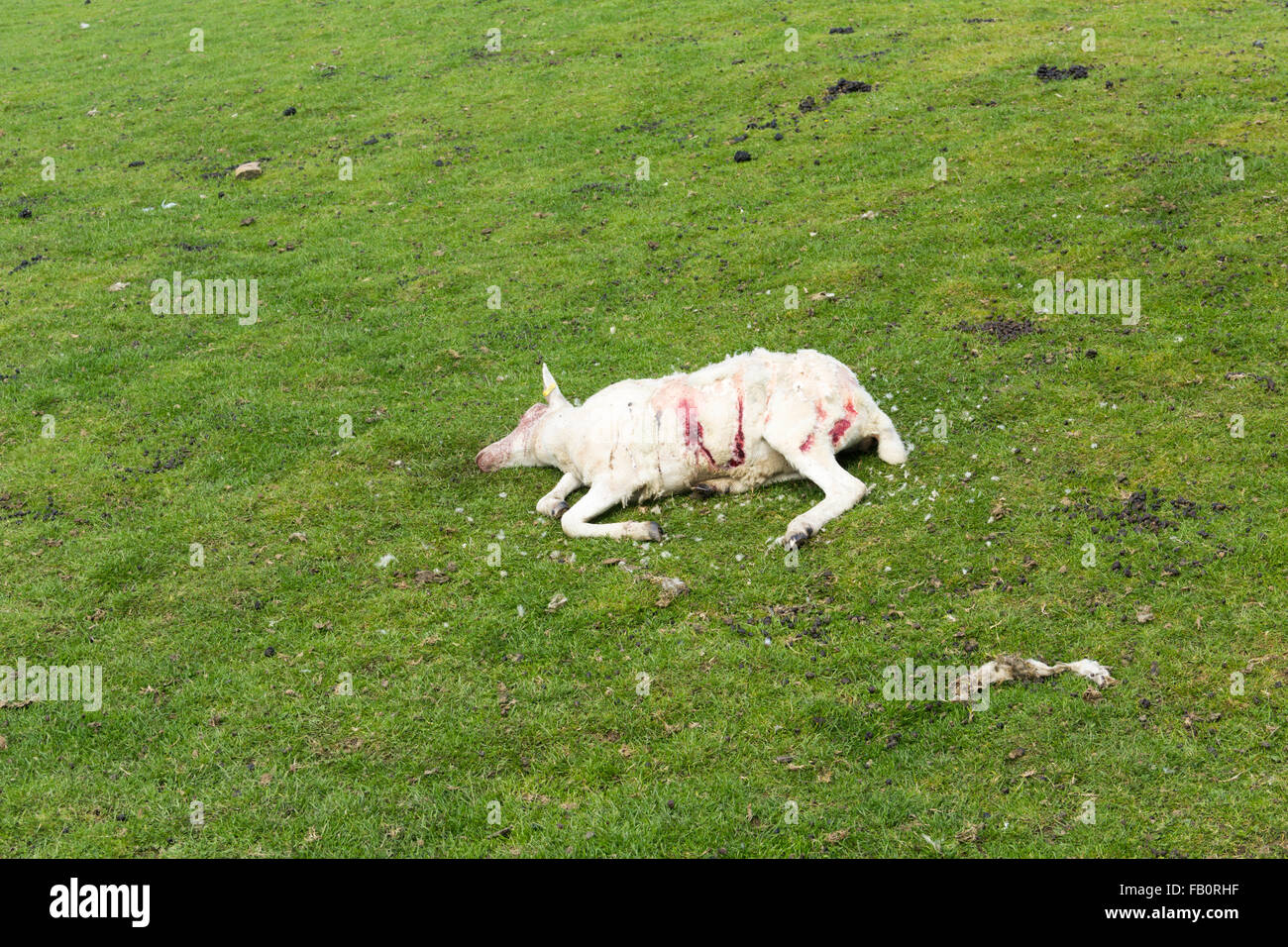 A dead sheep (ovis aries) with significant injuries, discovered on an upland pasture field in north-west England. - Stock Image