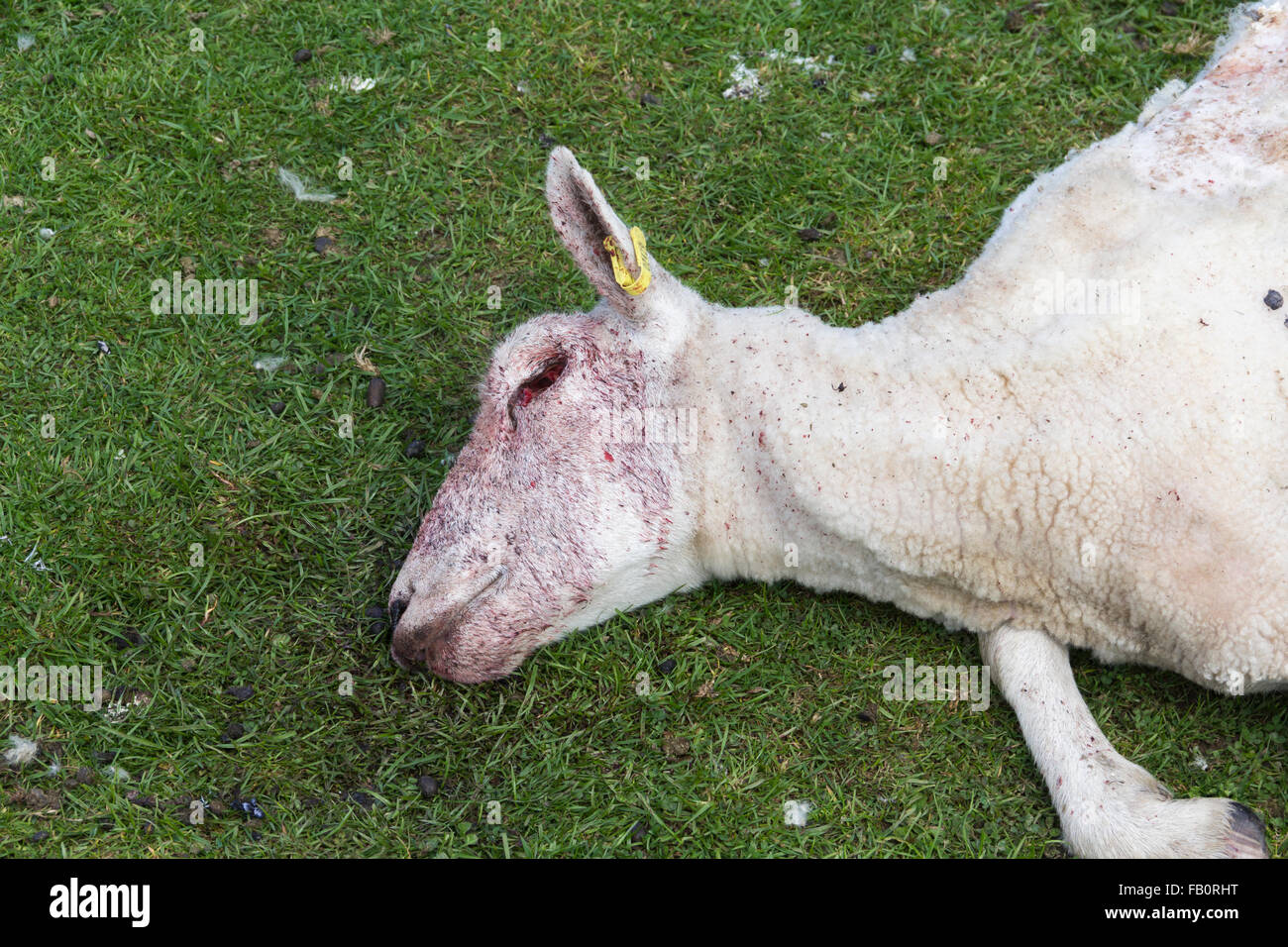 Head and upper torso of a dead sheep (ovis aries), discovered on an upland pasture field in north-west England. - Stock Image