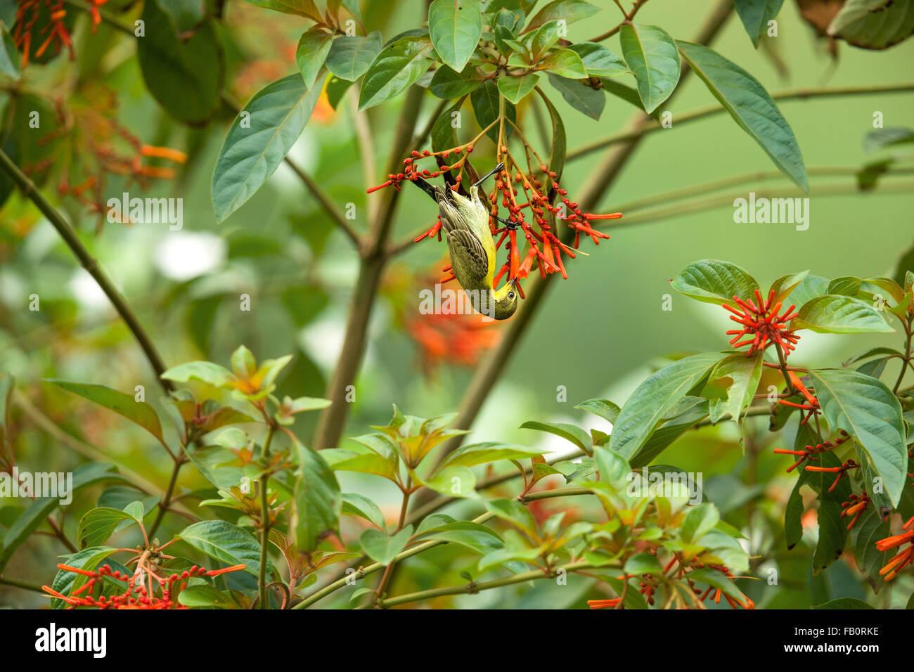 Sunbird sucking nectar - Stock Image