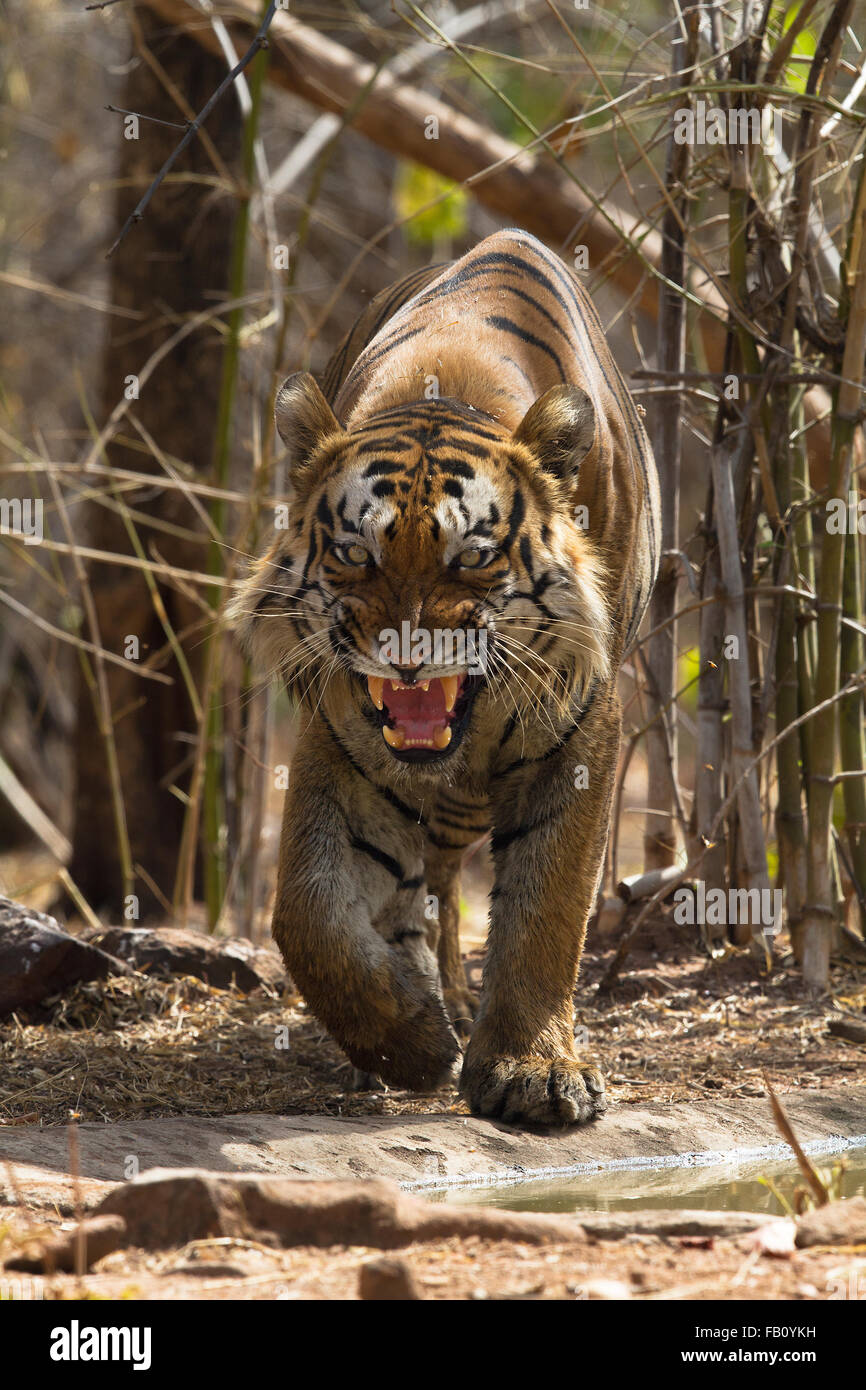 Shivaji Tiger Snarling at Tadoba National Park - Stock Image