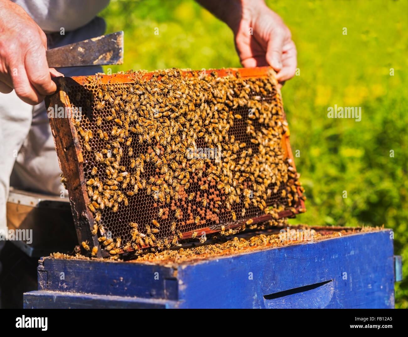 Beekeeper with beeswax honeycomb frame - Stock Image