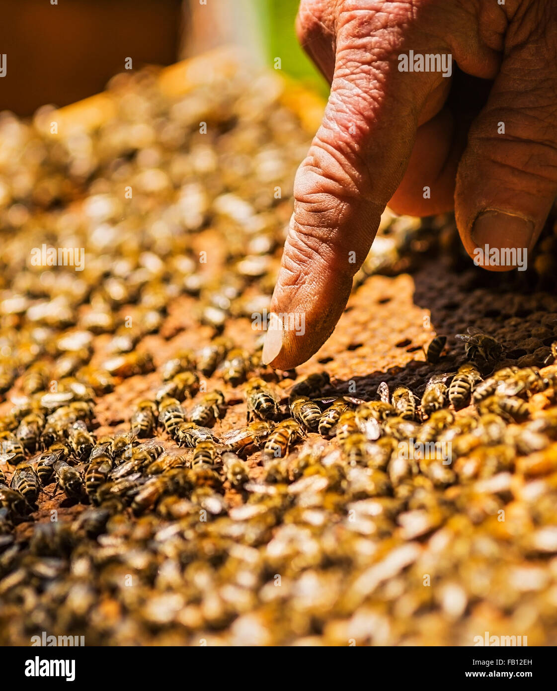 Beekeeper pointing on queen bee - Stock Image