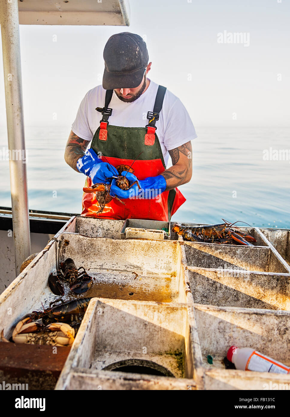 Fisherman measuring lobster - Stock Image