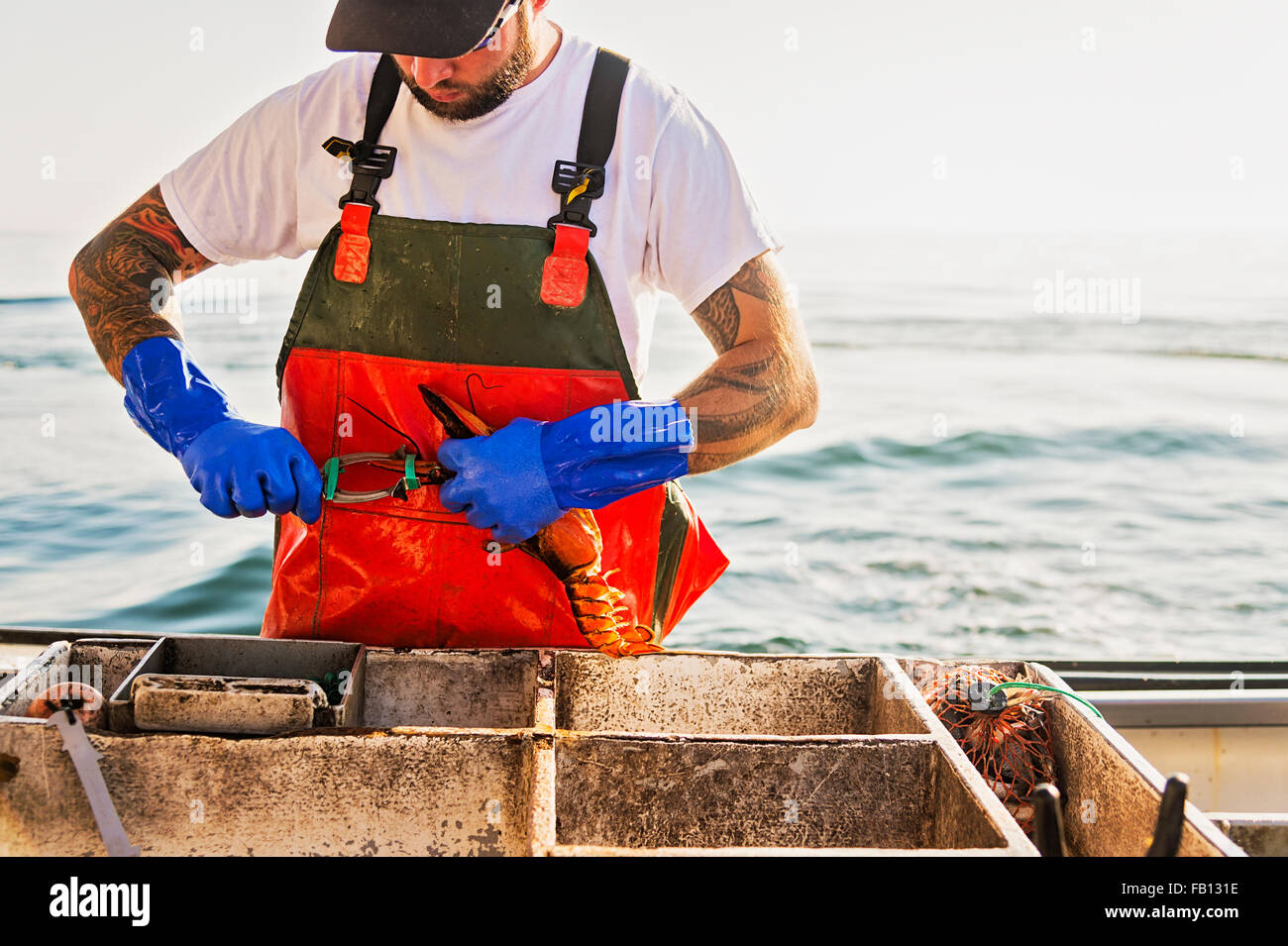 Fisherman putting rubber band on lobster - Stock Image