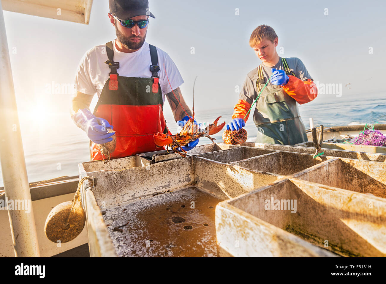 Fishermen measuring lobster - Stock Image