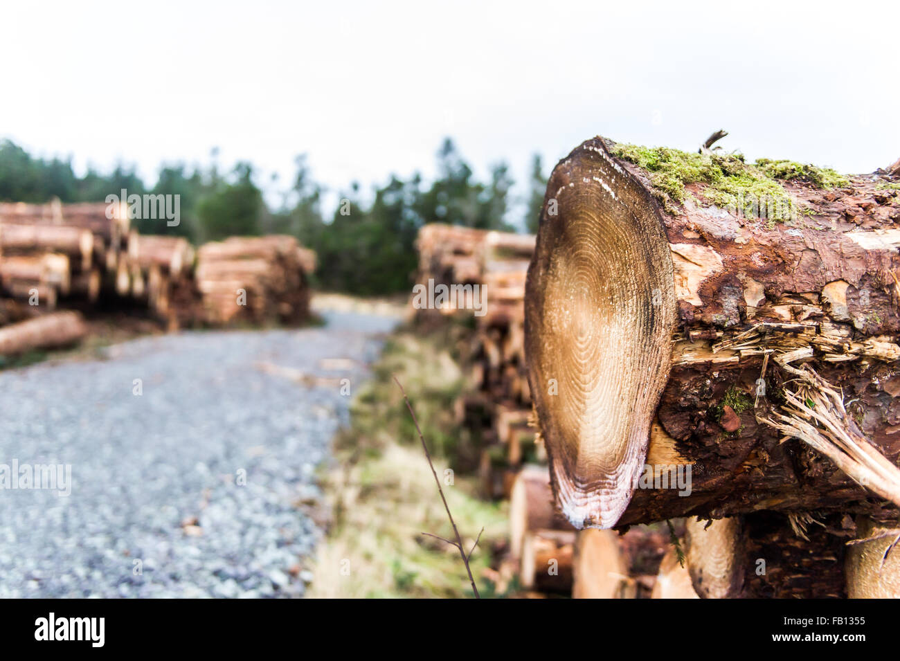 Felled tree from the felling operation in Scrahanaleary Forest, Ballydehob, West Cork, Ireland with copy space. - Stock Image