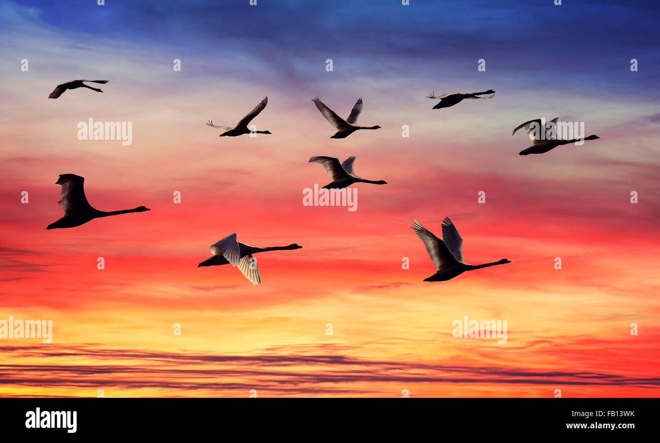 Skein of swans silhouettes at sunset. - Stock Image