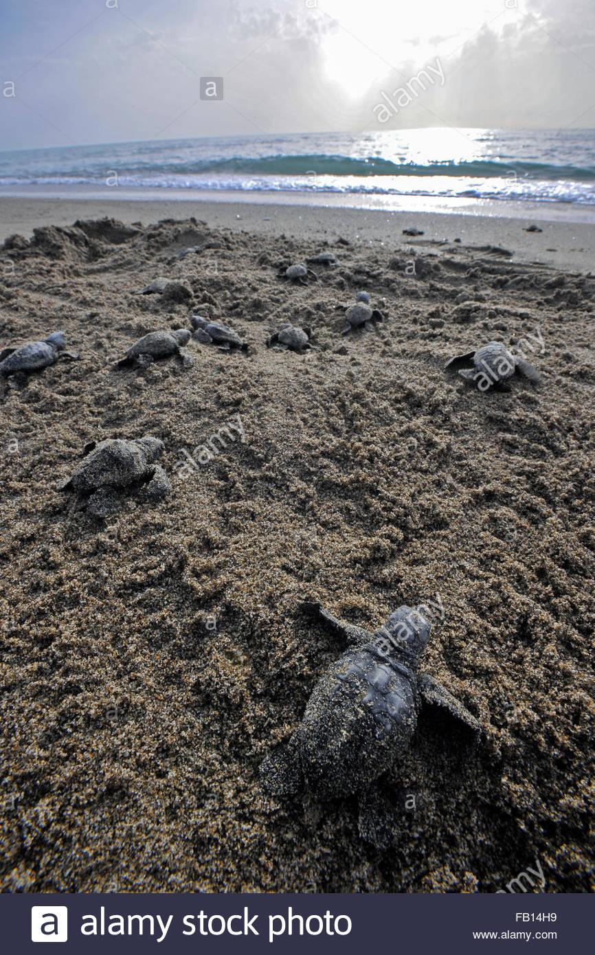 small turtle caretta caretta coast of Salerno,Battipaglia Stock Photo