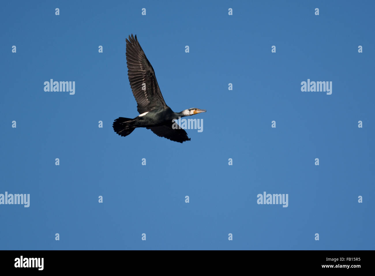 Great Cormorant, Grand Cormoran, flight, Kormoran im Flug vor blauem Himmel, Flugbild, Phalacrocorax carbo - Stock Image
