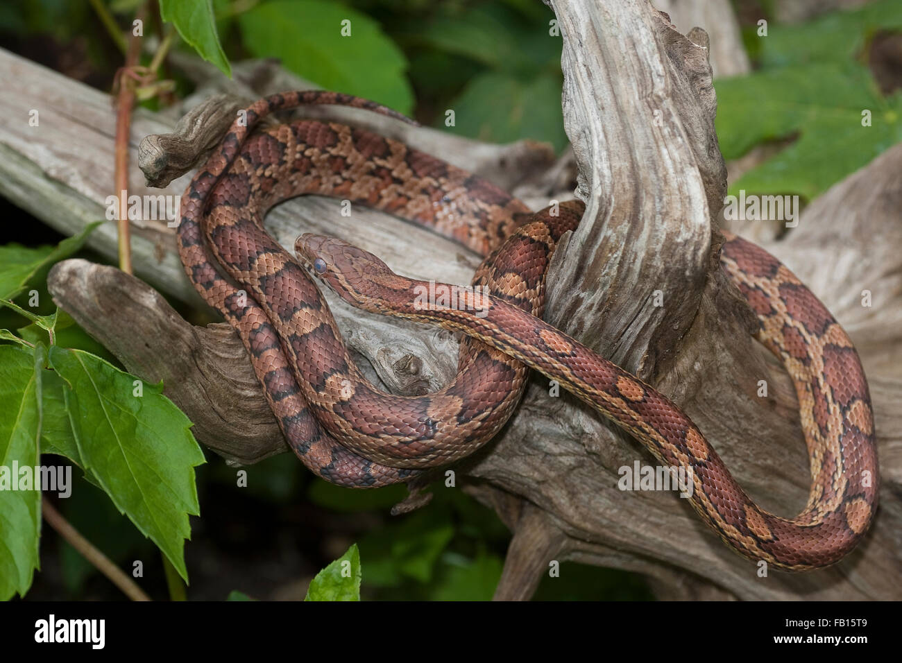 Corn Snake, Red Rat Snake, Kornnatter, Korn-Natter, Natter, Pantherophis guttatus Stock Photo