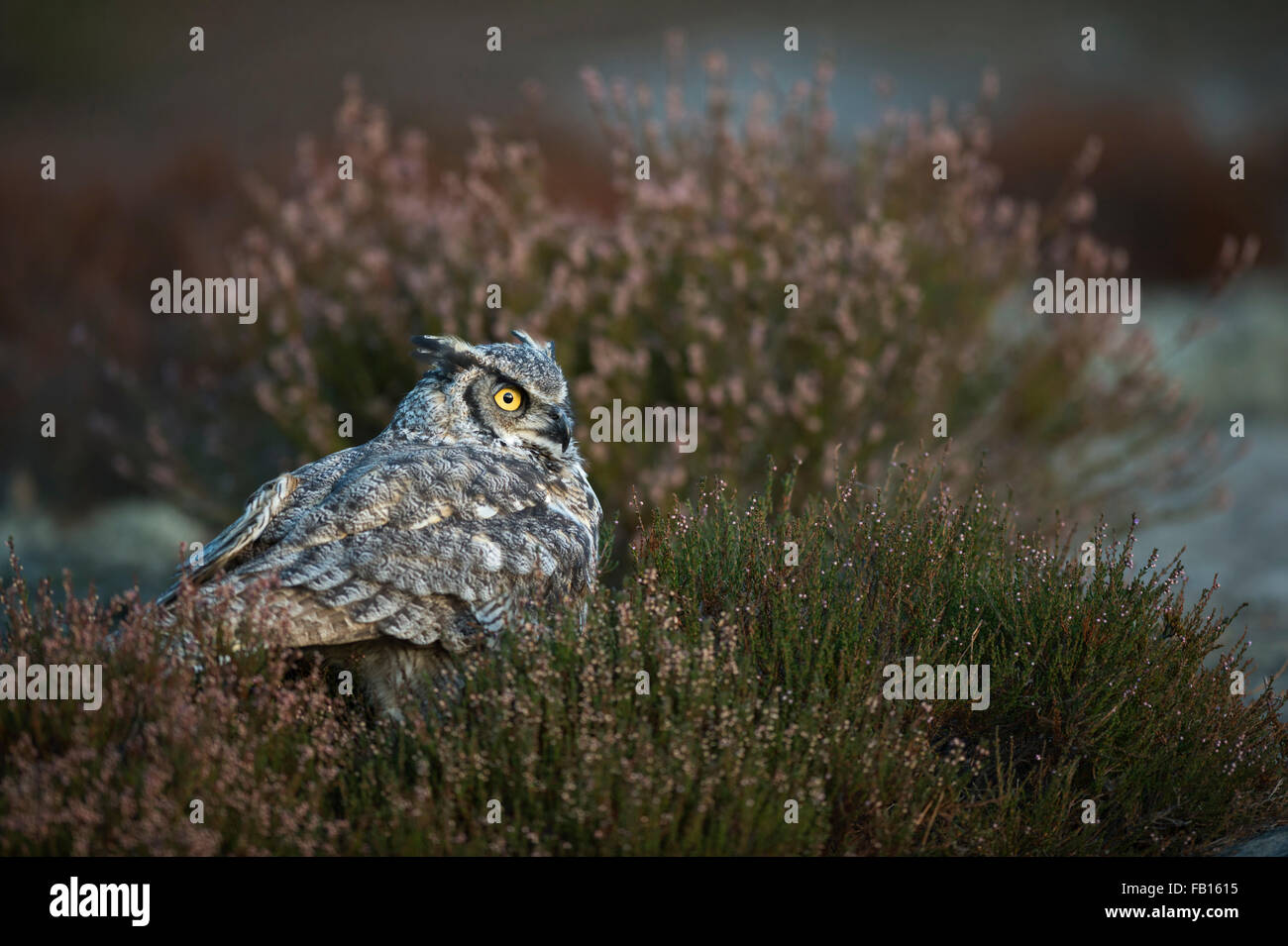 Great Horned Owl / Tiger Owl / Virginia-Uhu ( Bubo virginianus ) hiding on the ground between heather bushes, bright - Stock Image
