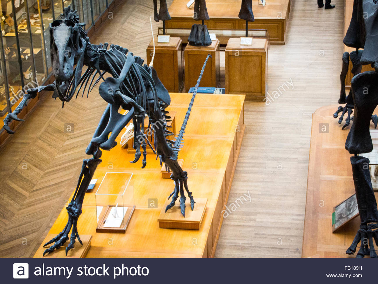Dinosaur fossil in a museum - Stock Image