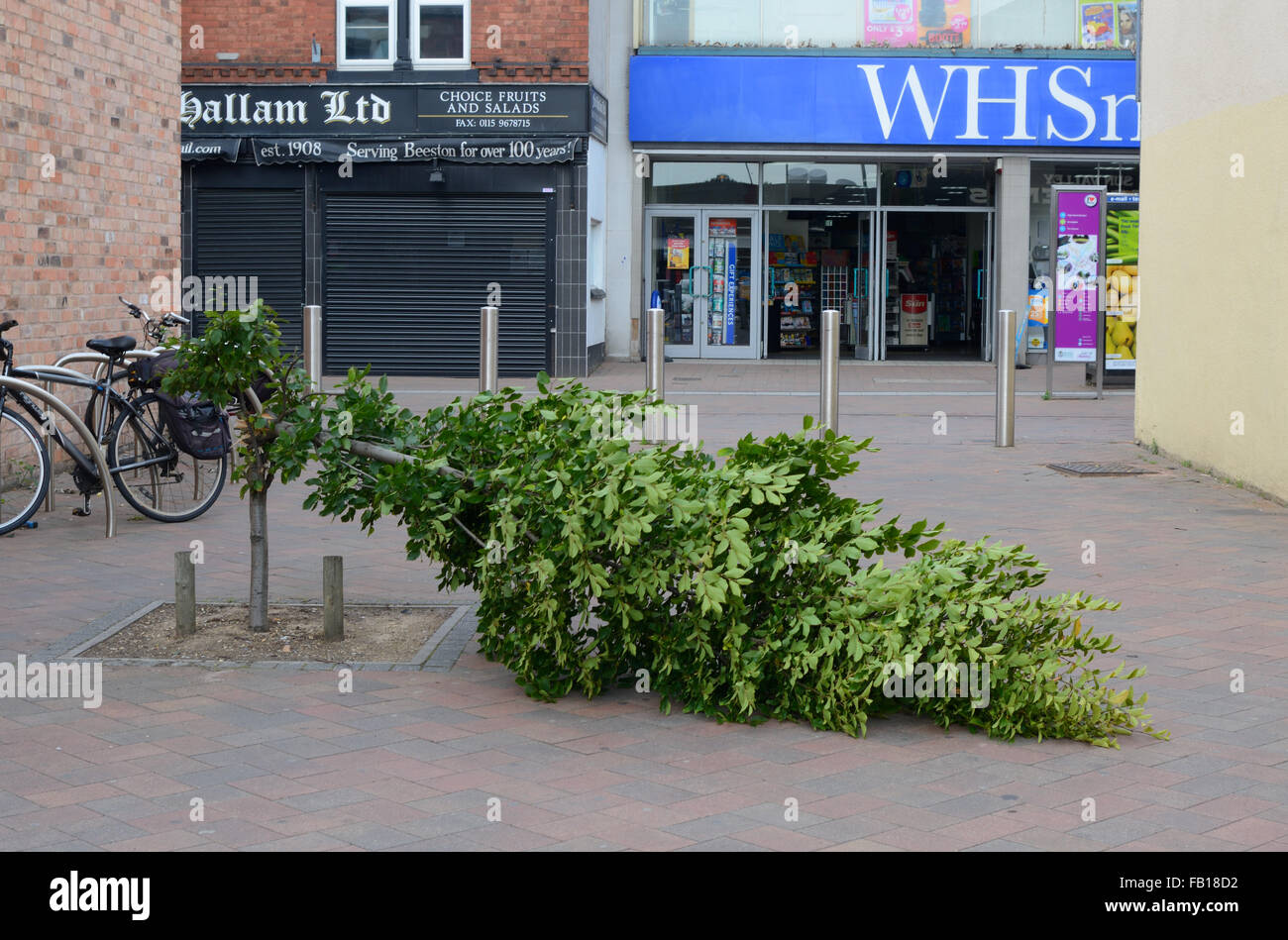 Tree pulled down by vandals, Beeston, Nottingham, England. Stock Photo