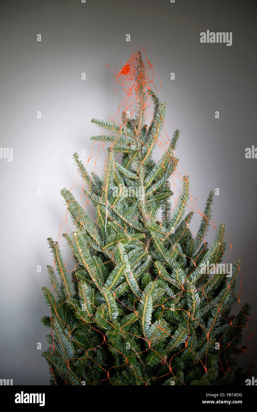 Bare Christmas fir tree wrapped in net, indoors Stock Photo