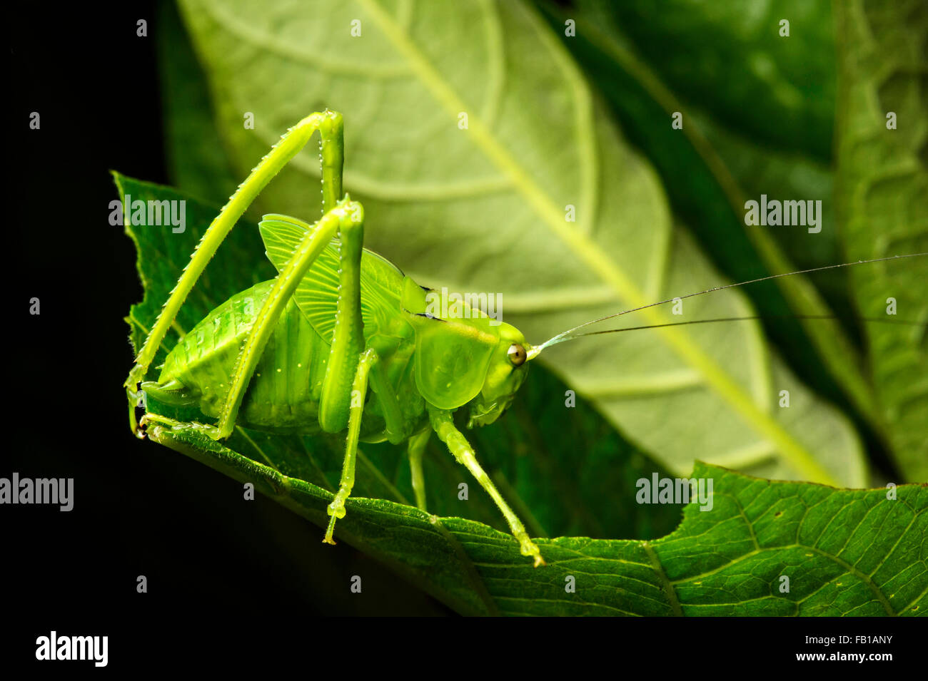 Nymph of a katydid (Tettigoniidae), Andean cloud forest, Mindo, Ecuador Stock Photo