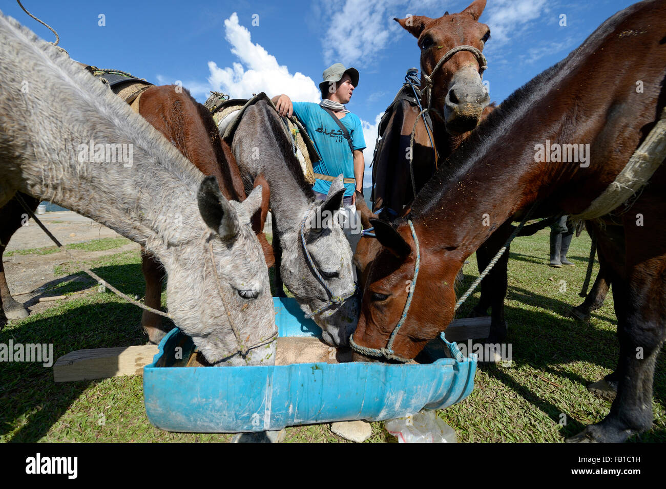 Mules at trough, village of San Francisco, Antioquia Department, Colombia - Stock Image