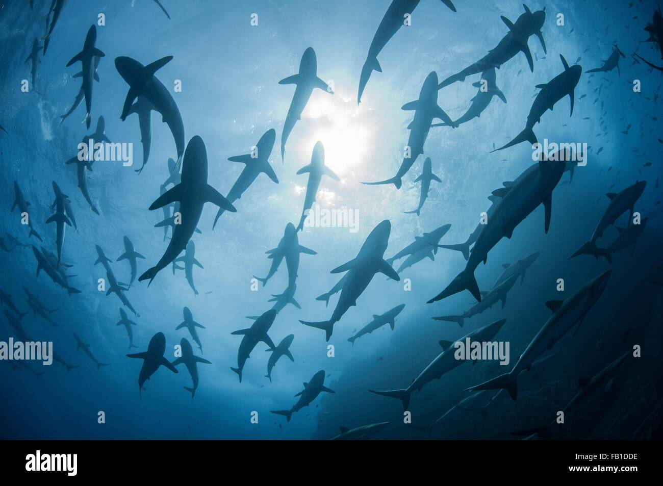 Underwater silhouetted view of silky sharks gathering in spring for mating rituals, Roca Partida, Revillagigedo, - Stock Image