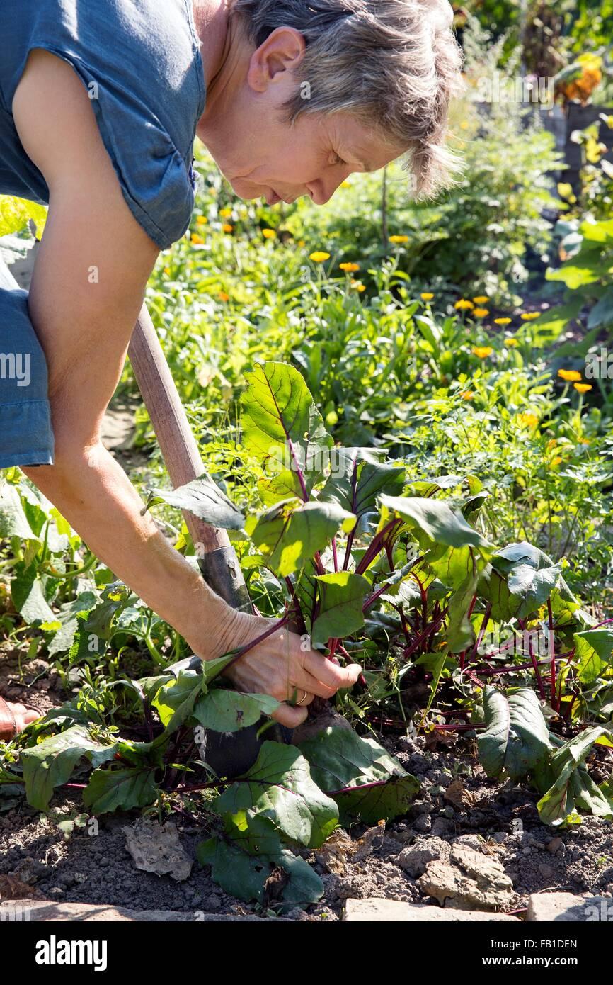 Mature woman gardening, digging with spade - Stock Image