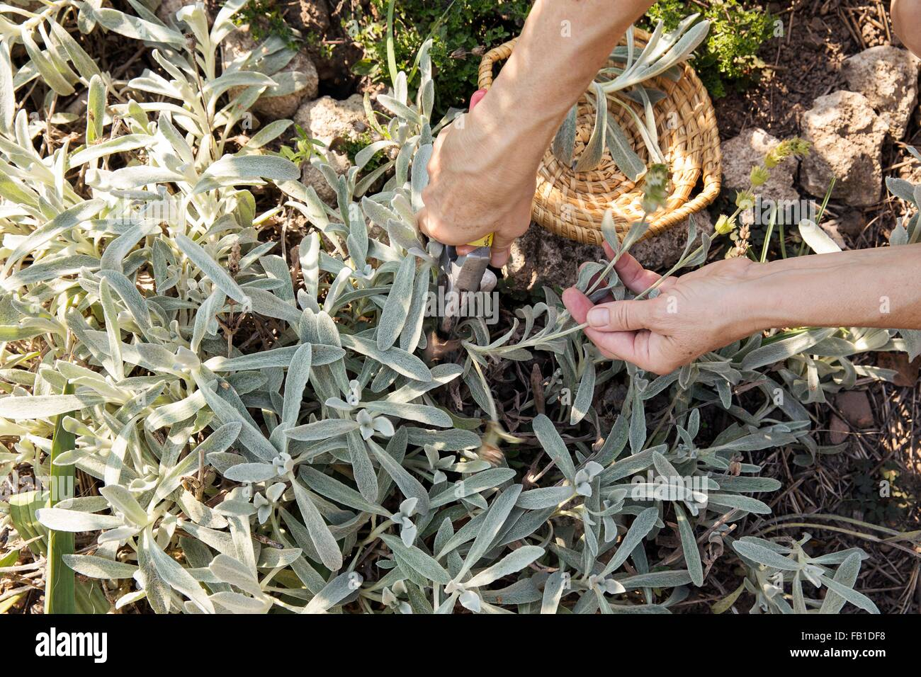 Mature woman gardening, cutting plant with secateurs, low section - Stock Image
