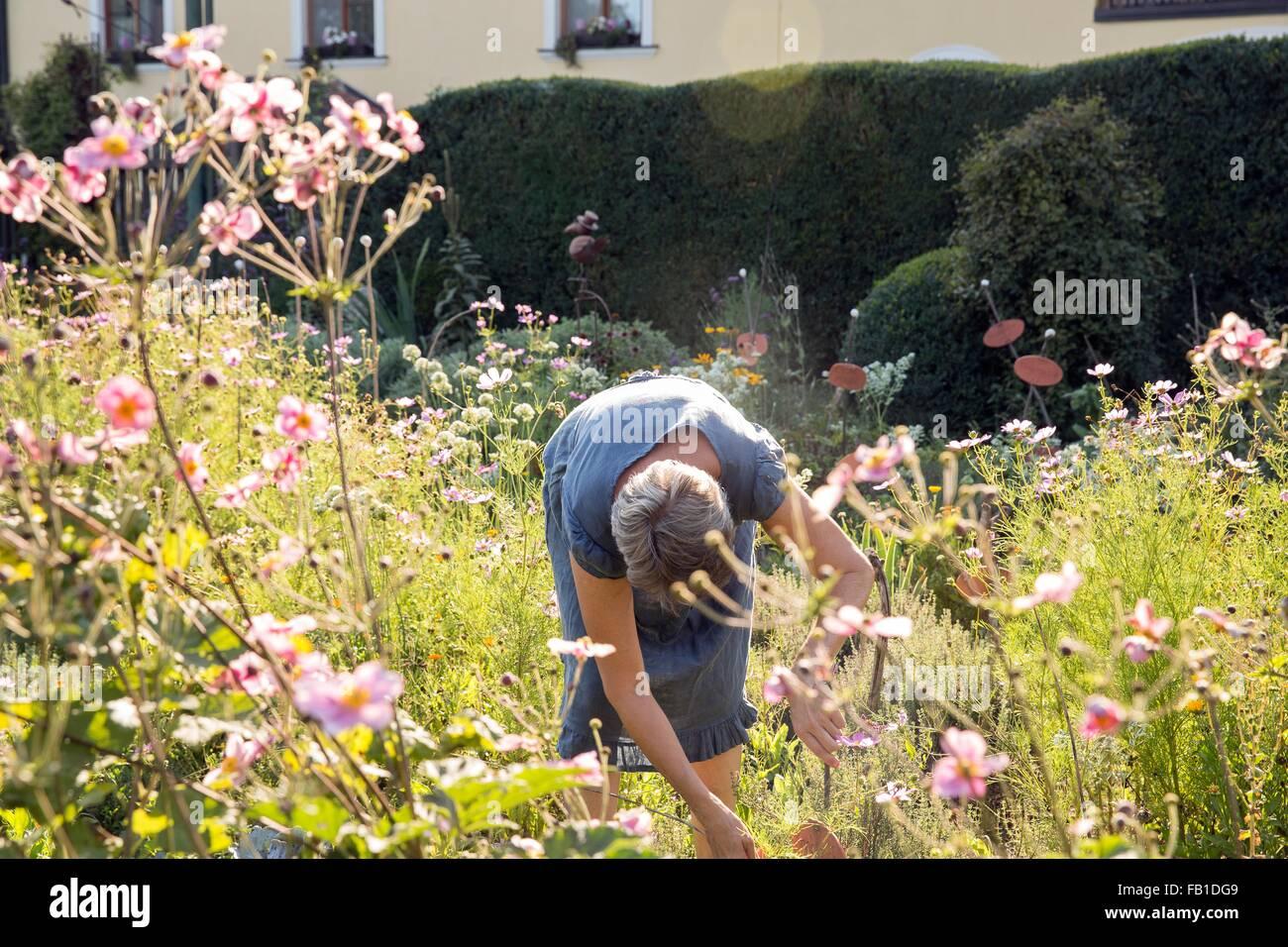 Mature woman gardening, bending over - Stock Image